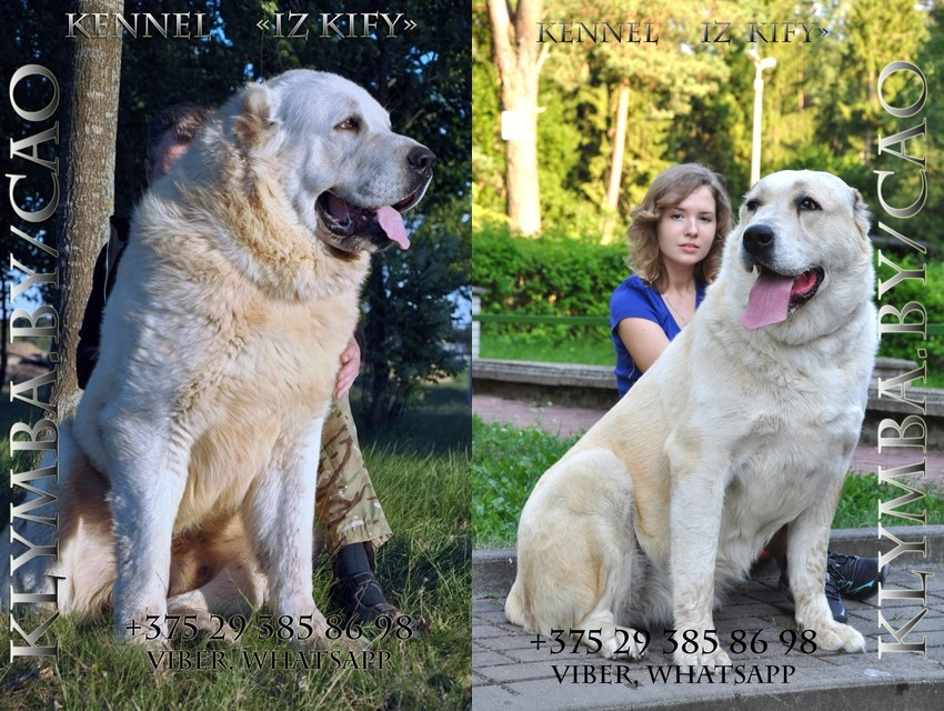 мать Еруг Кисмет (kennel alabay XXXXL